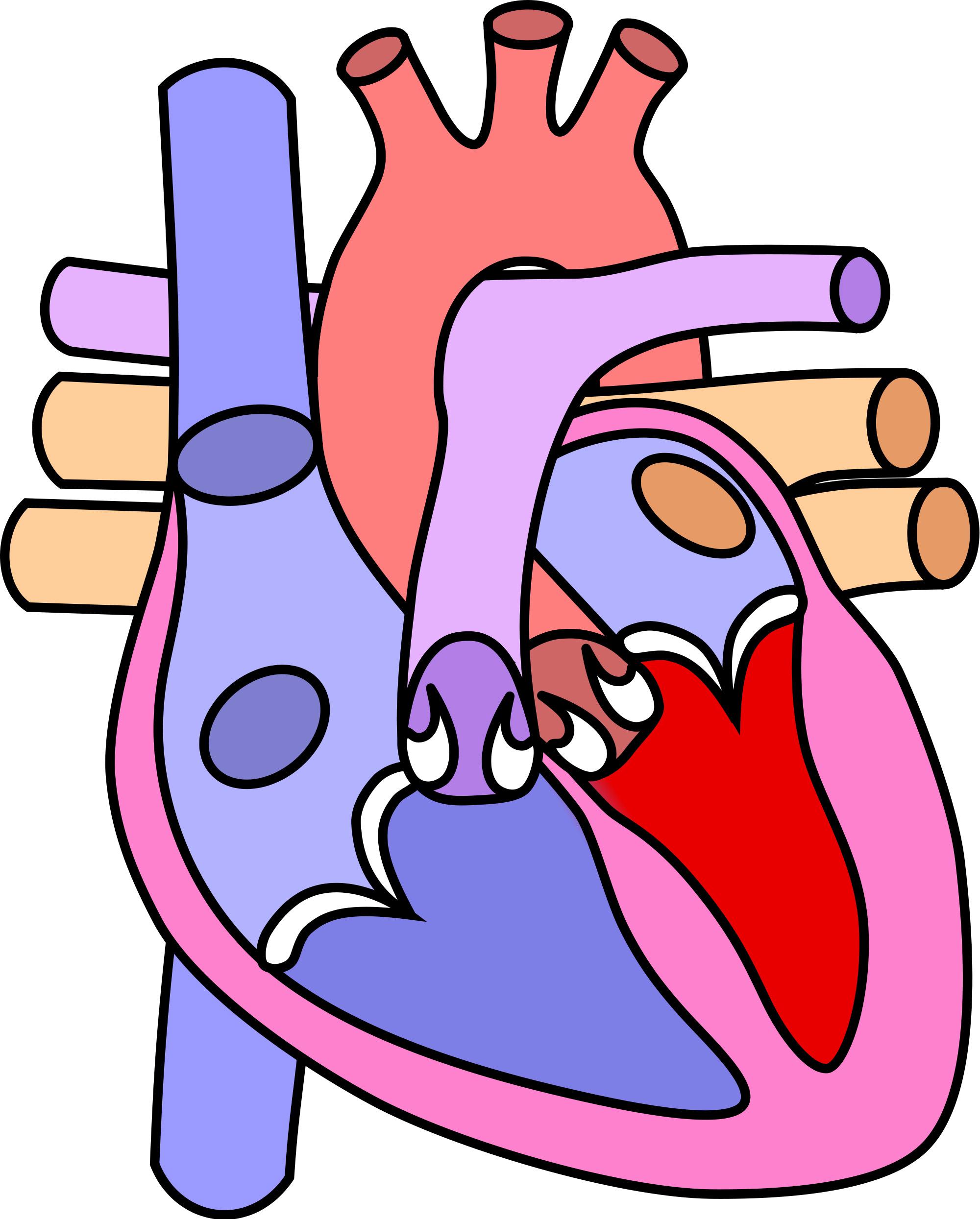 corazon normal