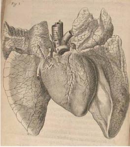 Figura 3: Esquema anatómico corazón-pulmón de G. Harvey