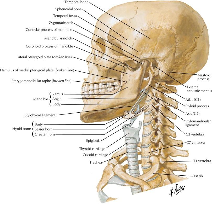 Figura 1. Relación de la columna cervical con las estructuras de la vía aérea.