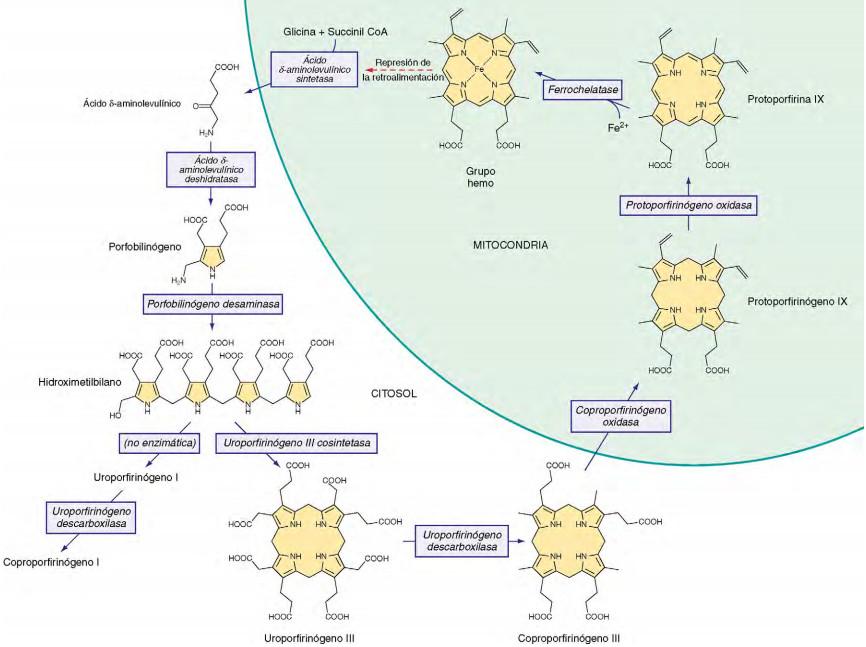Vía de la Síntesis del Grupo Hemo
